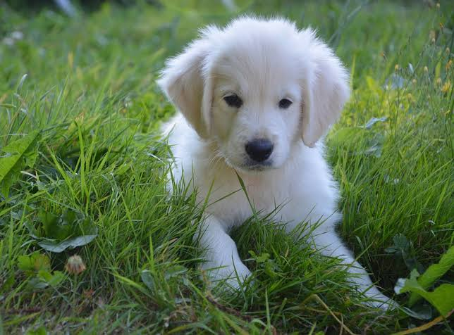 White Golden Retriever Puppy