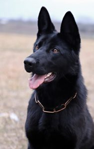 Top-100-k9-police-german-shepherd-names
