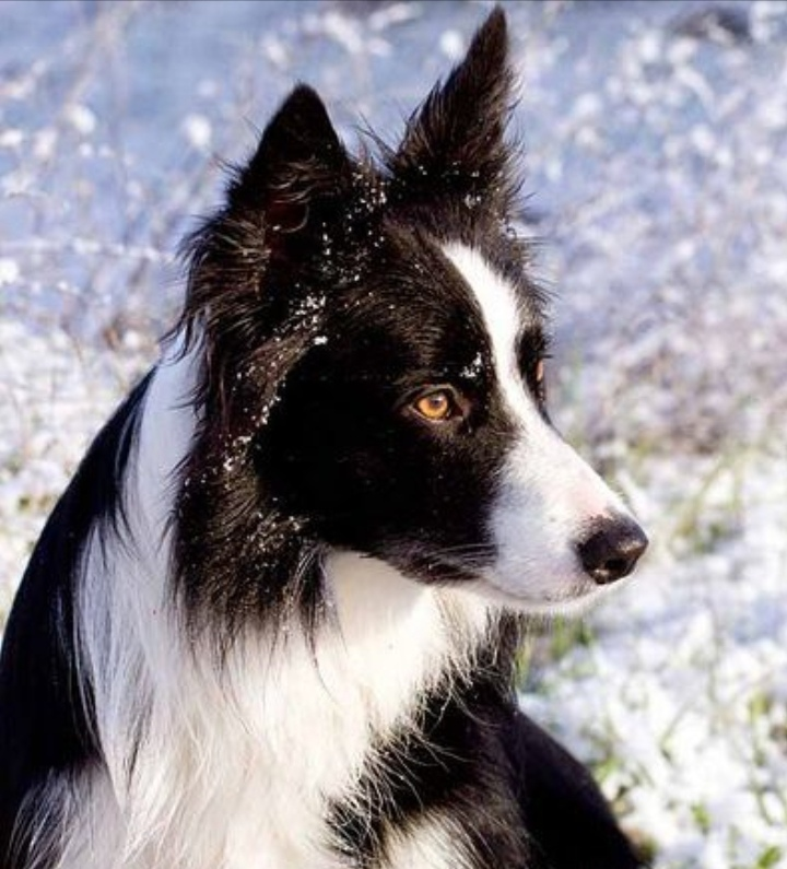 German Shepherd border collie mix