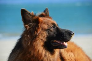 Top 100 male german Shepherd names