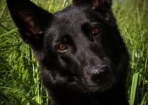 Black German Shepherd Names